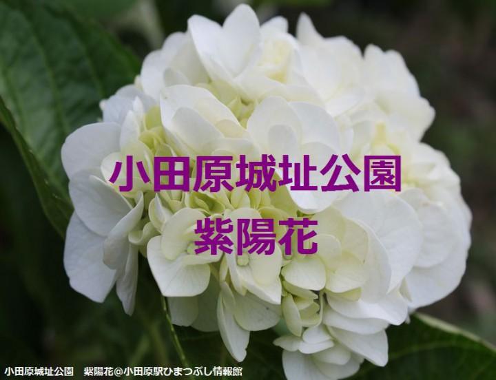 小田原城 紫陽花